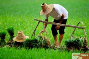 Рис в Китае фото 14