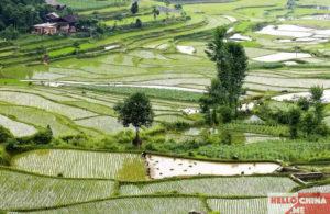Рис в Китае фото 13