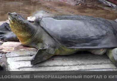 В Китае умерла редкая черепаха Янцзы